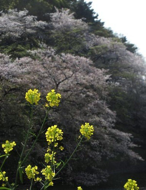 桜の花の最後の方サムネイル